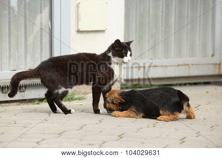 Cat With Puppy Of Norwich Terrier