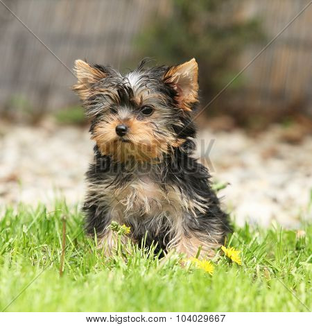 Gorgeous Puppy Of Yorkshire Terrier In The Garden