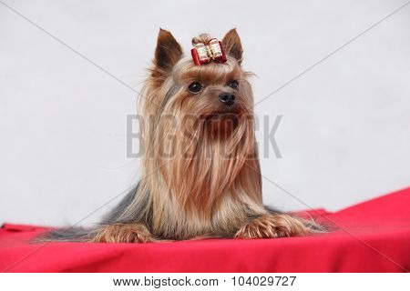 Amazing Yorkshire Terrier In Front Of White Wall