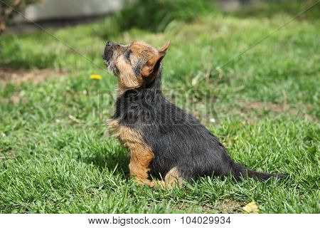Norwich Terrier Sitting In The Garden