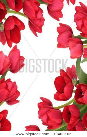 Red Tulip Flower Abstract