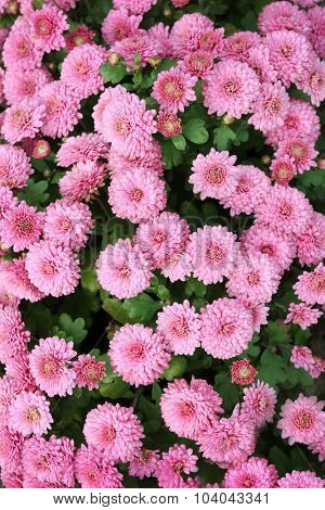 Beautiful chrysanthemum flowers, close-up, outdoors