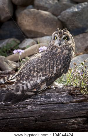 Captive Short Eared Owl.