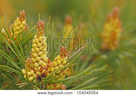 Pine, Pinus sylvestris