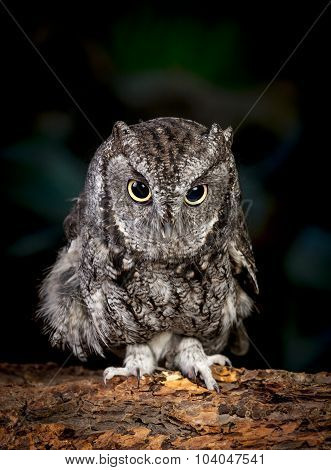 Screech Owl Images, Stock Photos & Illustrations | Bigstock