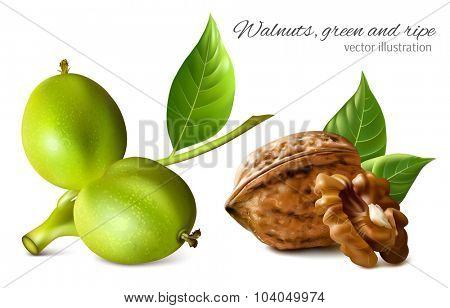 Gren and ripe walnuts with leaves and kernel. Vector illustration