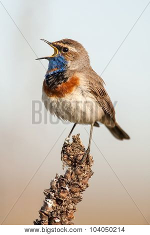 Bluethroat In The Nature