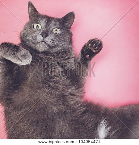 grey funny cat posing