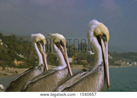 Pelican Trio