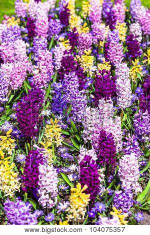 blooming hyacintus flowers in Holland