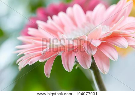 Pink daisy gerbera flower background