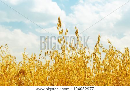 golden harvest of oats on field