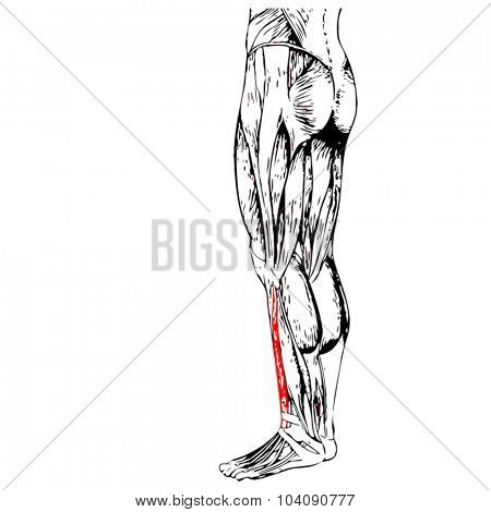 Vector concept or conceptual 3D gastrocnemius human lower leg anatomy or anatomical and muscle isolated on white background