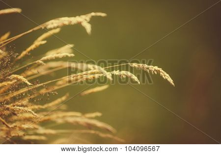 Blades of dry grass over a blurred background. Toned image useful as natural and relaxing background.