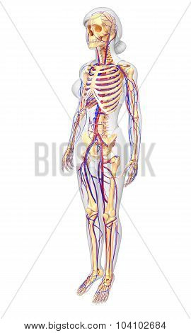 Female Skeletal Circulatory System