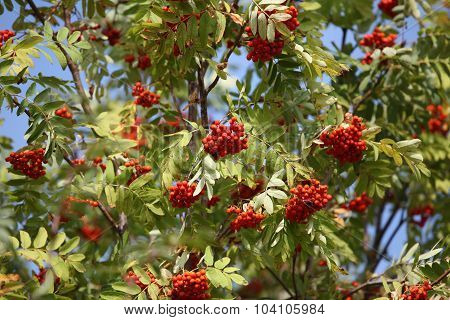 bunches of red rowan swaying