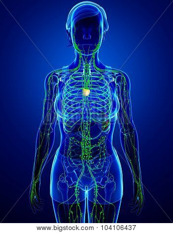Lymphatic System Of  Female Body