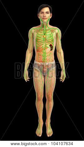 male lymphatic system