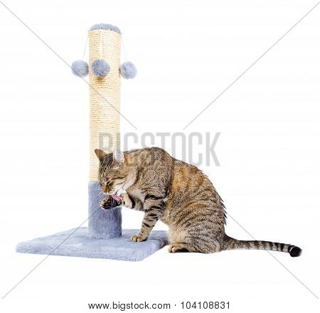 The Cat Licked Sitting Isolated On White.