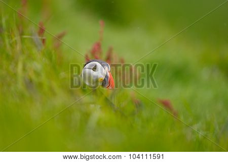 Atlantic Puffin in grass