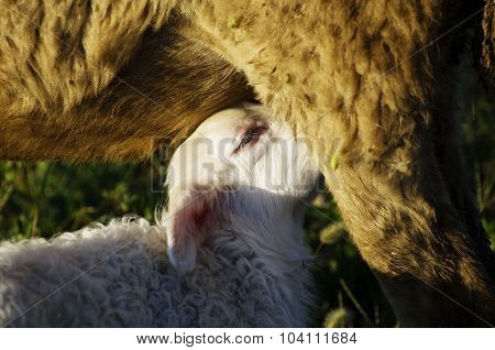 A white sheep is sucking his mother's milk