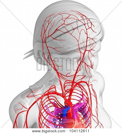 Female Arterial System