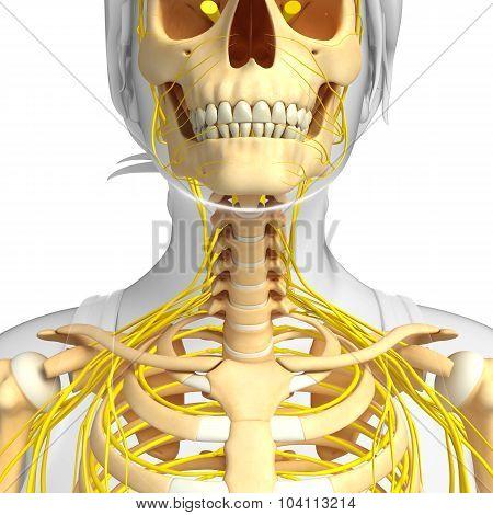 Nervous System Of Human Skeleton Artwork