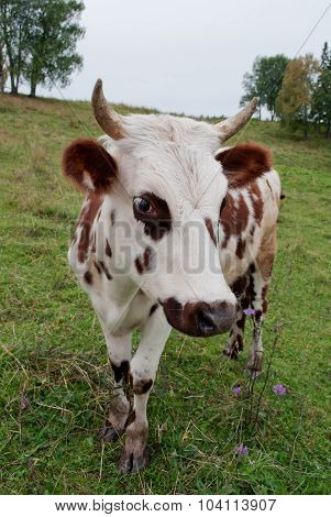 White-brown calf standing on meadow