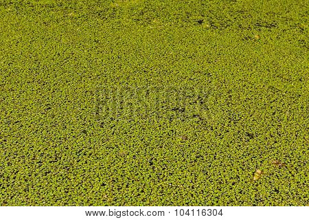 Background Made From Duckweed, Pattern.
