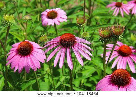 Pink coneflower cone flowers