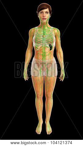human lymphatic system