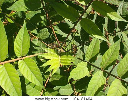 Top View Of A Young Sapling Tree Ailanthus Altissima