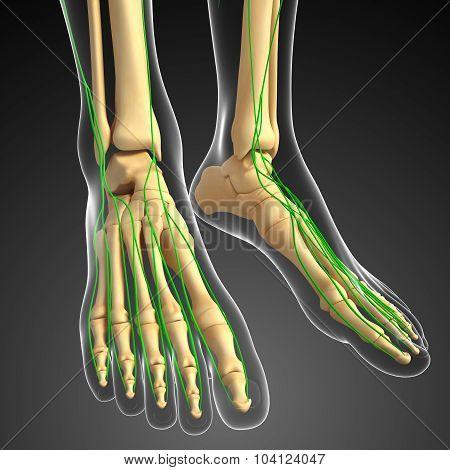 Lymphatic System Of Human Foot Skeleton Artwork