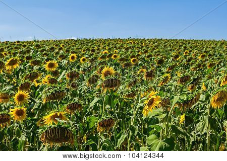 Yellow Sunflower In Big Withered Field.