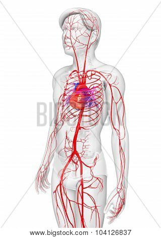 Male Arterial System