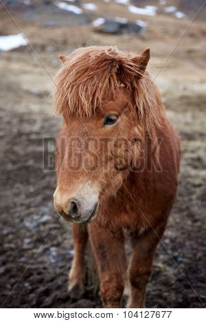 Curious Icelandic horse with cute adorable fluffy mane in field outdoors
