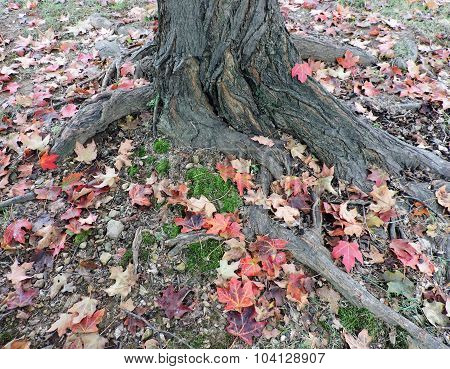 Fallen Autumn Maples Leaves at Tree Base
