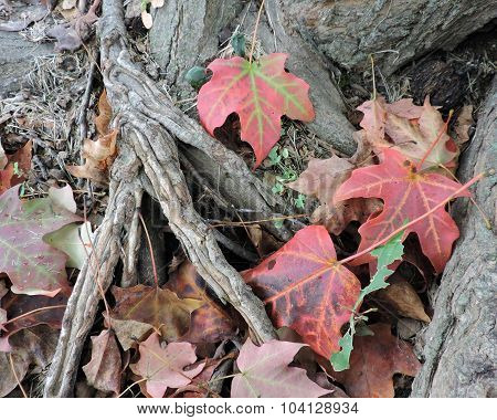 Fallen Autumn Maples Leaves