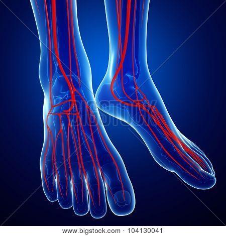 Human Foot Arterial System