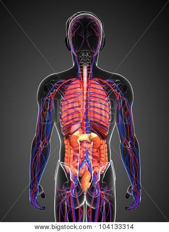 Digestive And Circulatory System Of Male Body
