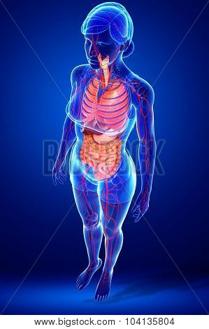 Digestive And Circulatory System Of Female  Body