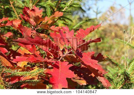 Bright Red Oak Leaves In Autumn Season