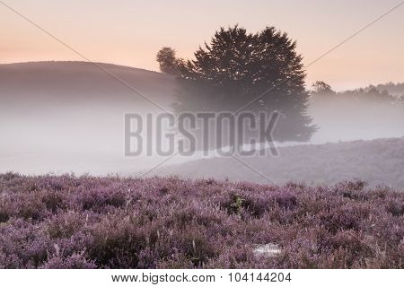 Misty Morning On Hills With Flowering Heather