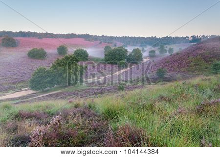 Beautiful Foggy Morning On Hills With Heather Flowers