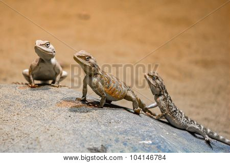 Trio Steppe Agama