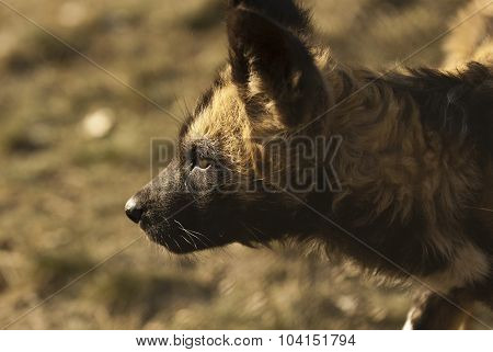 African Painted Dog (lycaon Pictus) Pup