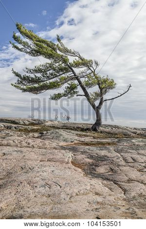 Lone Pine on Georgian Bay