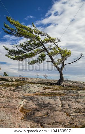 Single Pine on the Rocks