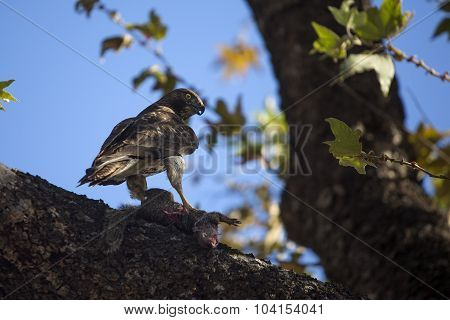 Juvenile Red Tailed Hawk With Prey