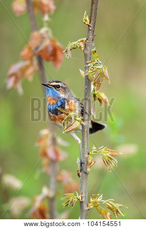 Singing A Bluethroat